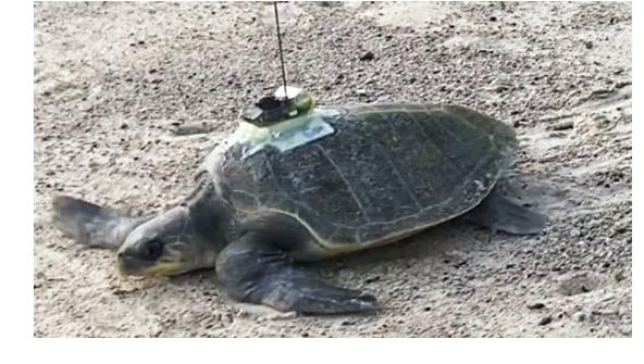 لقياس التغيرات في درجة حرارة المحيطات.. علماء يستخدمون السلاحف البحرية
